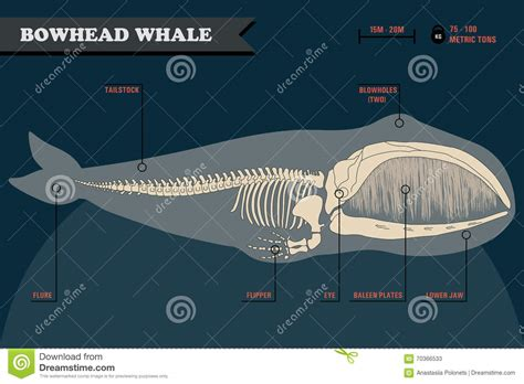 bowhead whale skeleton stock vector illustration of