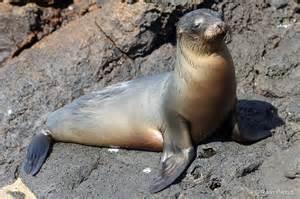 black backdrop galapagos sea lion basking photos by ravi