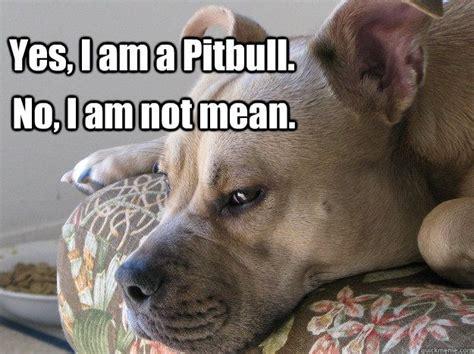 Pitbull Puppy Meme - pittbull meme yes i am a pitbull no i am not mean pitbulls are not meme cute