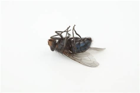 Dead Flies Clipart  Clipart Suggest. Moroccan Kitchen Wall Tiles. Tile Floors For Kitchens. Kitchen Islands Oak. Where To Buy Kitchen Islands With Seating. Kitchen Island Lighting. Remodeling Kitchen Island. Pictures Of Tile Backsplashes In Kitchens. Kitchen Appliances Covers