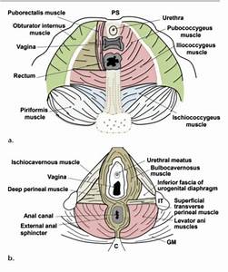 Schematics Show The Anatomy Of The Female Pelvic Floor At
