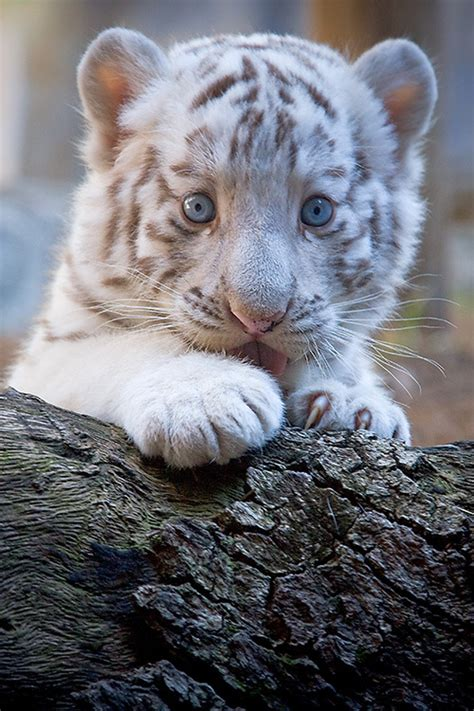 baby tiger white baby white tiger on