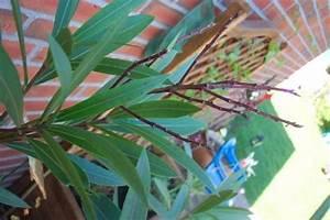 Oleander Zurückschneiden Radikal : alte bl tenst nde beim oleander mein sch ner garten forum ~ Lizthompson.info Haus und Dekorationen