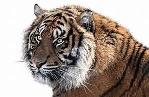 Tiger Head Side View transparent PNG - StickPNG