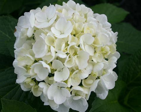 Hydrangea Macrophylla Bridal Bouquet Maryflower