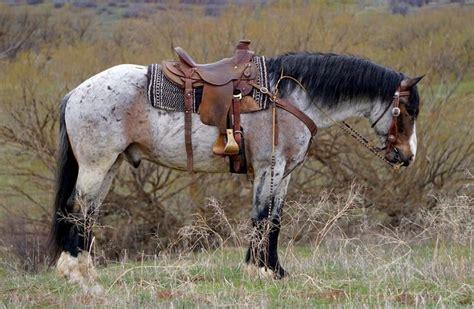 draft horse cross horses gelding quarter appaloosa mare belgian western breeds wyoming goose roan american buckskin pretty percheron bay pony