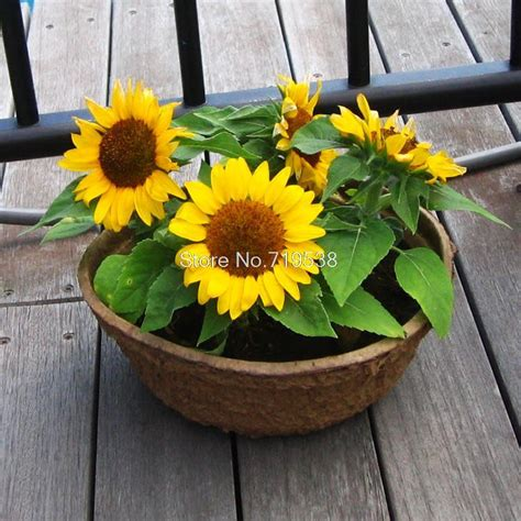 four seasons broadcast viewing balcony pots of sunflower seeds easy to plant flower seeds