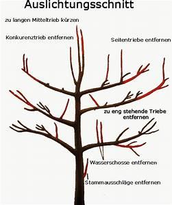 Apfelbaum Schneiden Wann : obstb ume verschneiden pflanzen f r nassen boden ~ Watch28wear.com Haus und Dekorationen
