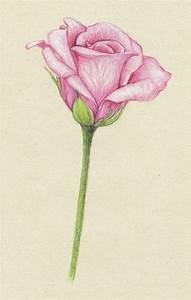 Jasmine Flower Pencil Drawing Columbine Flowers Pictures ...