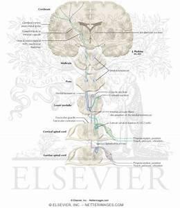Somatosensory System Related Keywords