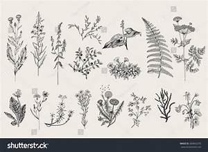 Herbs And Wild Flowers. Botany. Set. Vintage Flowers ...