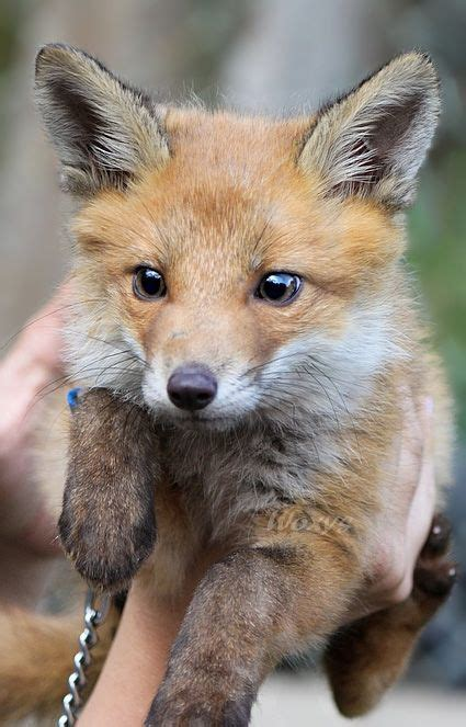 how cute pet foxes steal your heart 33 best white wolves with bright blue images on animals bright blue and