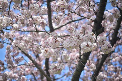 botanical garden cherry blossom my visit to the botanic garden with rituals