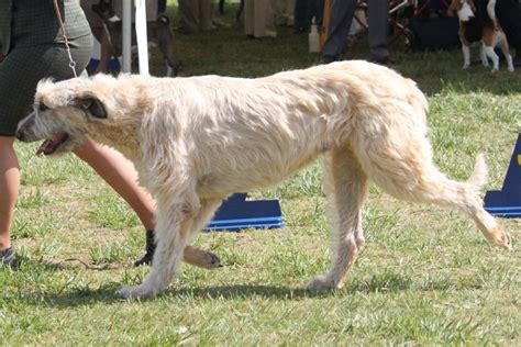 wolfhound non shedding wolfhound breed information pictures