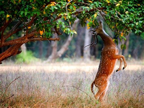 full hd p deer wallpapers  hd wallpaper pictures