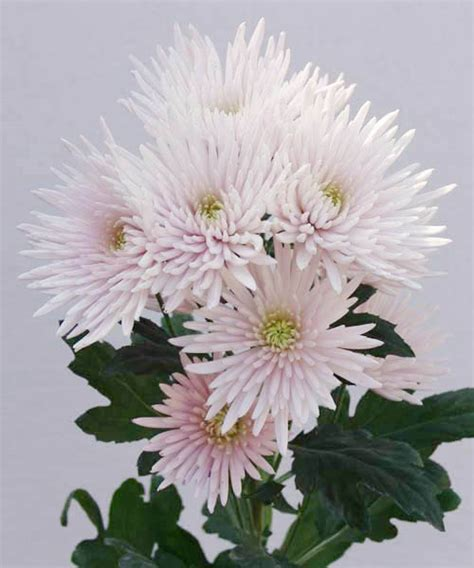 wholesale spray chrysanthemum floraco
