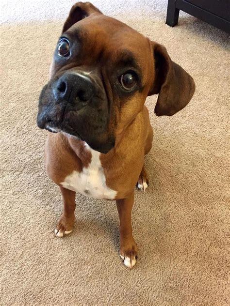 auralsplint aural hematoma treatment canine home