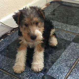 Wire haired fox terrier please email | Rhymney, Caerphilly ...