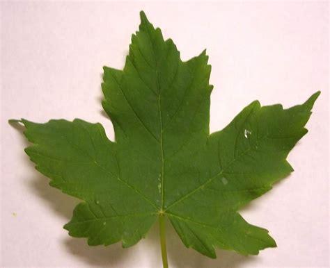different maple tree leaves sugar maple tree leaf identification www imgkid com the image kid has it