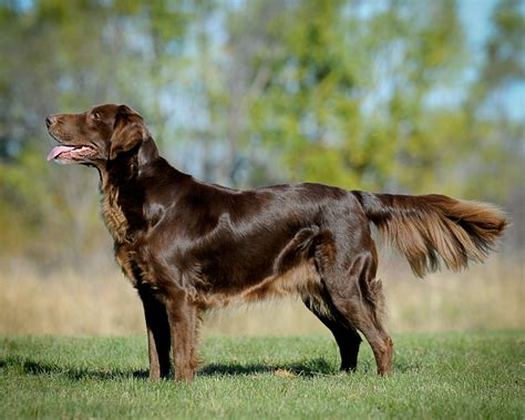 flat coated retriever opsach