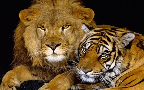 lion tiger feline wallpaper hd wallpaperscom