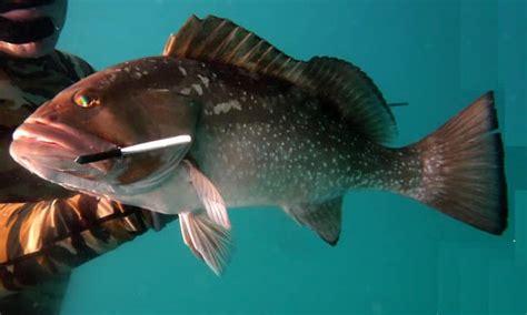 grouper fish pound per fresh snowy market seafood