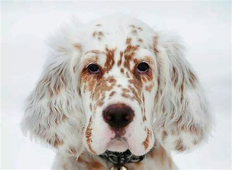 1000+ Ideas About English Setters On Pinterest