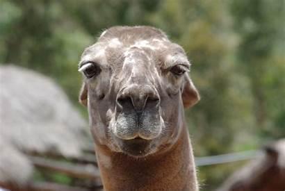 Funny Llama Llamas Nice Something Face Faces