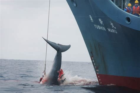 japan to resume whaling in antarctic