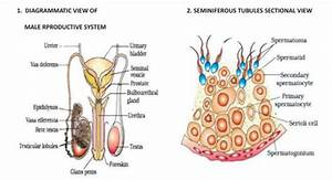 Cbse Class 12 Biology Human Reproduction Diagrams