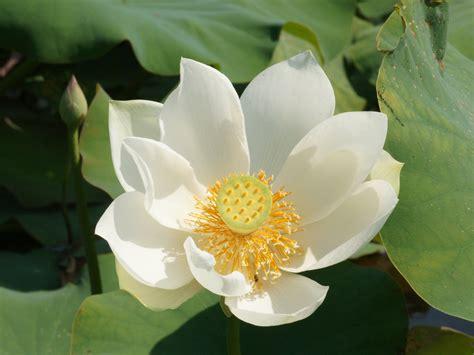 Lotus Flower Wallpaper |Rose Wallpapers