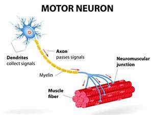 Location  Structure  And Functions Of Motor Neurons
