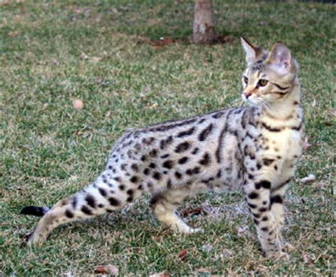 Elite Savannah Cat  Select Exotics