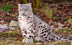 Snow leopard kitten wallpapers and images - wallpapers ...