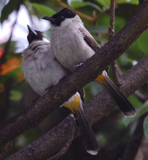 Mengenal lebih dekat burung flamboyan perbedaan jantan dan betina flamboyan. membedakan burung kutilang jantan dan betina | JBBKICAU