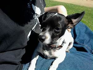 Black And White Chihuahua Mix Puppies | www.pixshark.com ...
