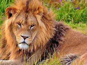 Dominant Male Lion Wallpaper | Free Big Cat Images