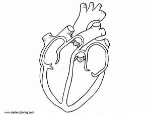 Anatomy Coloring Pages Diagram Heart