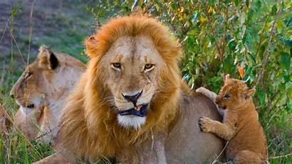 Bing Lion Adult Male Cub African Mara