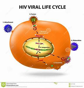 Hiv Replication Cycle Stock Vector  Image Of Integration