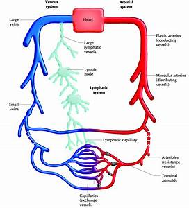 Lymphatic Circulatory System