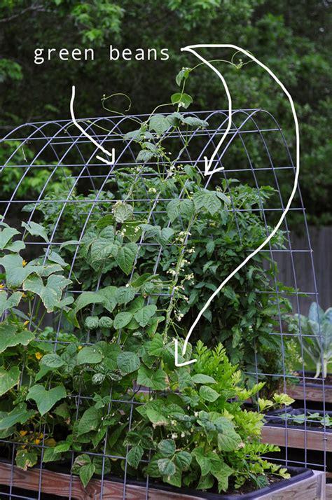 Green Beans  Raised Urban Gardens