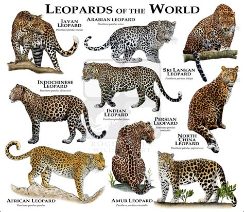 leopards   world