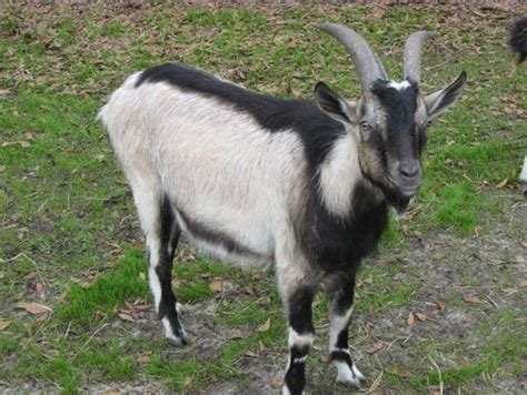 types  alpine goat modern farming methods
