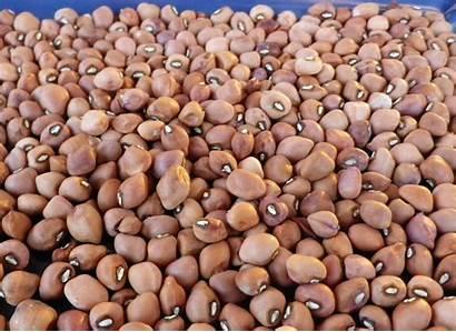 Crowder Pea Southern Cowpea Carolina Cream Seeds