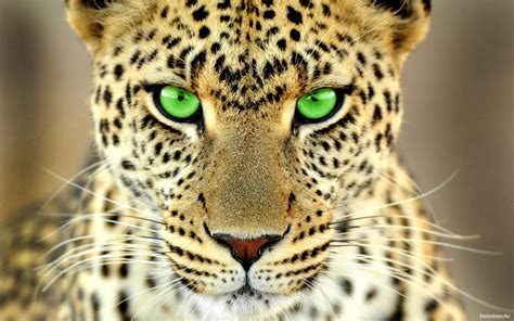 green eyed leopard wallpaper  hd wallpapers