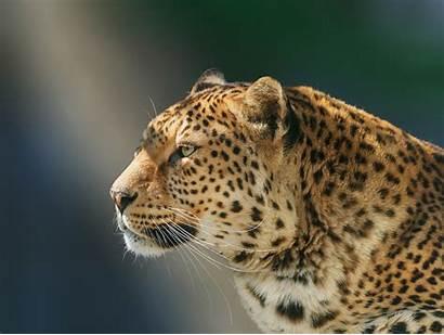 Animals Leopard Animal Wild Wallpapers Laptop 1080p