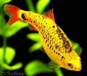 219 best images about Fish Barbs on Pinterest