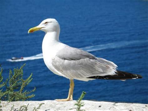 Il Gabbiano Uccello by Il Gabbiano Fauna Marina Mediterraneo