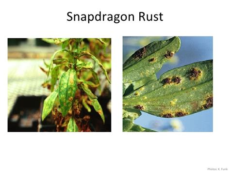 Spotlight On Snapdragon Home Décor: Diseases Of Houseplants And Annuals